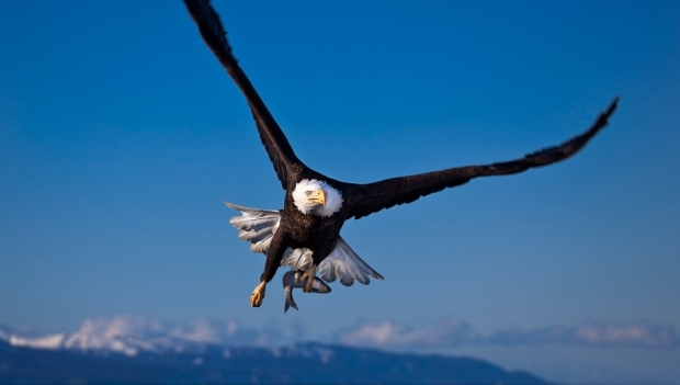 eagle_flying_bird